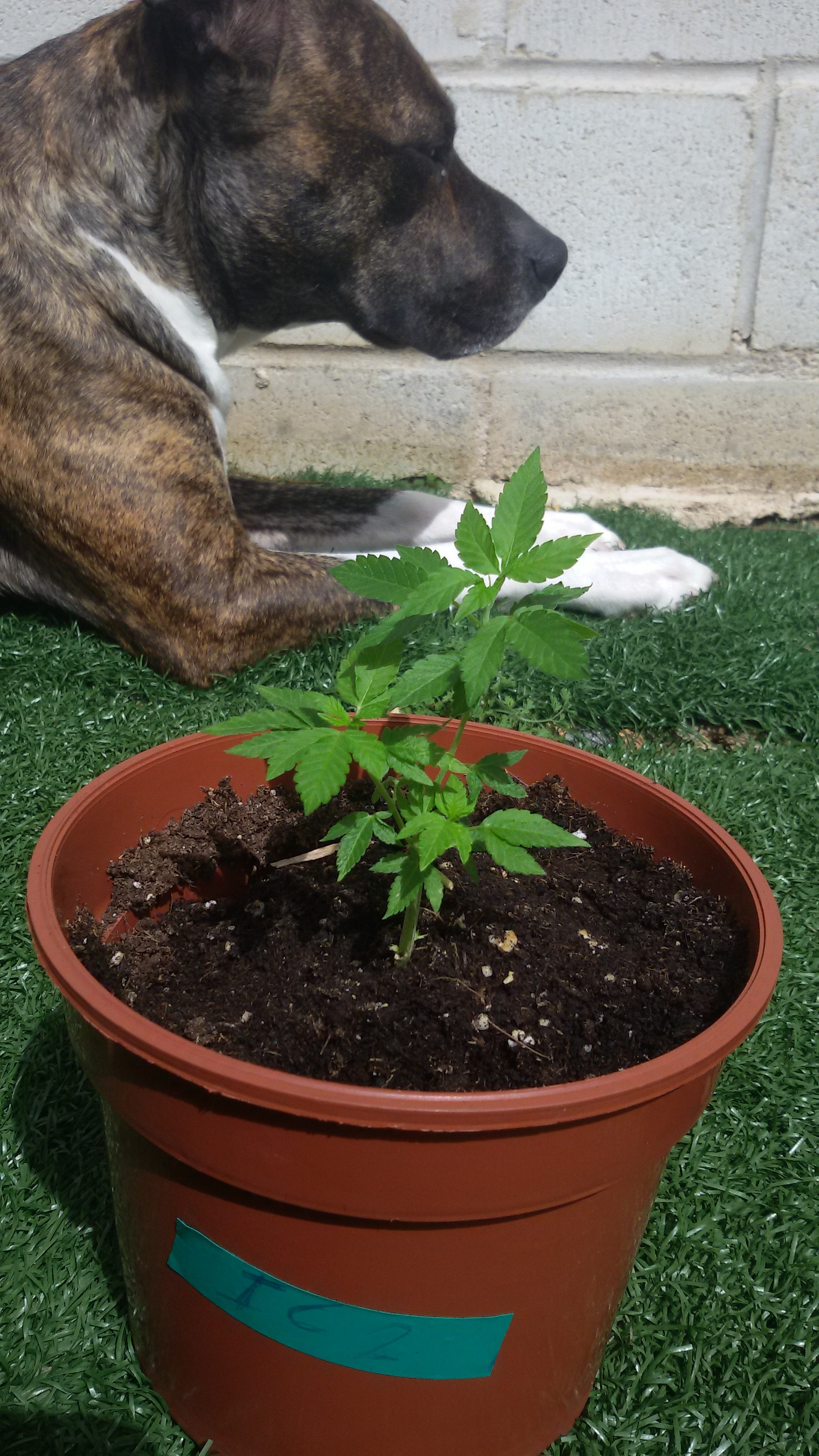 El Brujo a Latigazos ...(Sweet Seeds)+(CannaBooM)(2018) 20180324_132306