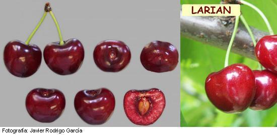 Larian cherry, Larian variety