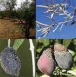 Aceituna jabonosa, antracnosis del olivo