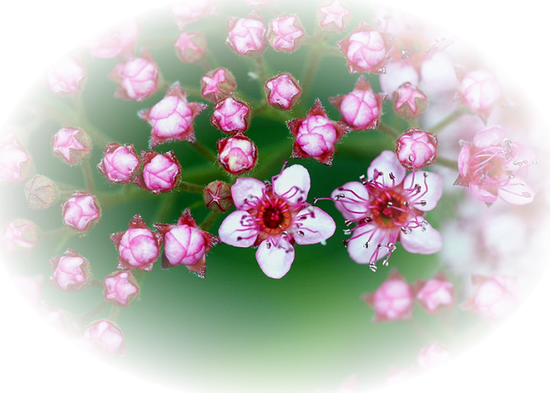 tubes_fleurs_tiram_199