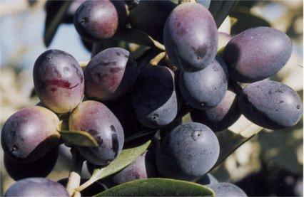 Variedad de olivo Grignan