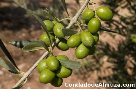 Arroniz Olive, photo Navarra green olives