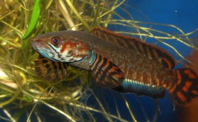 Jenis Ikan Gabus Gambar Ikan Emailme Form 3 Jenis Ikan Gabus Yang Ada Di Indonesia