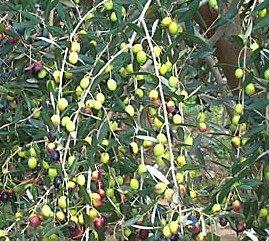 Variedad de olivo Taggiasca
