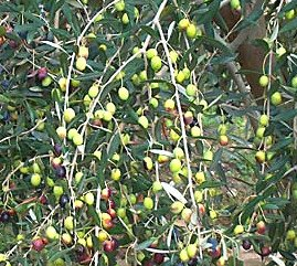 Taggiasca olive variety, Taggiasca olive tree