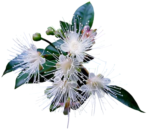 tubes_fleurs_tiram_671