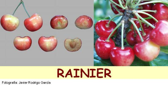 Rainier cherry, variety of cherry Rainier media station
