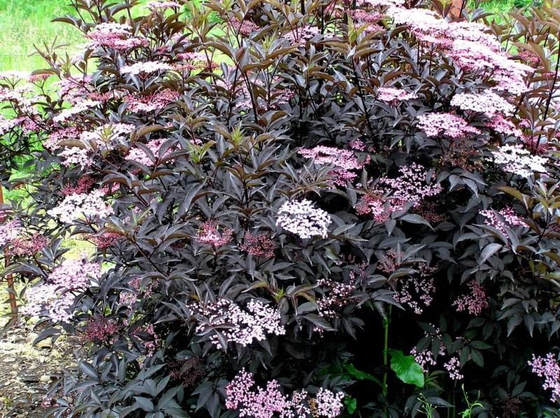 Бузина черная Блек Бьюти, Sambucus nigra Black Beauty