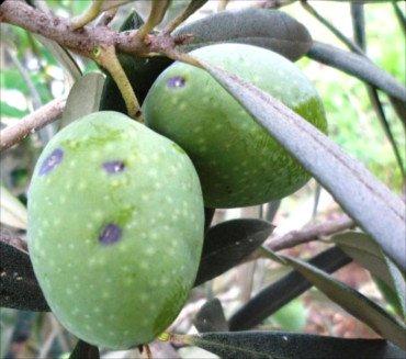 Aceitunas atacadas por la cochinilla violeta del olivo, Parlatoria oleae, foto plaga cochinilla olivo