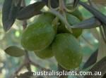 Clase de olivo Hojiblanca