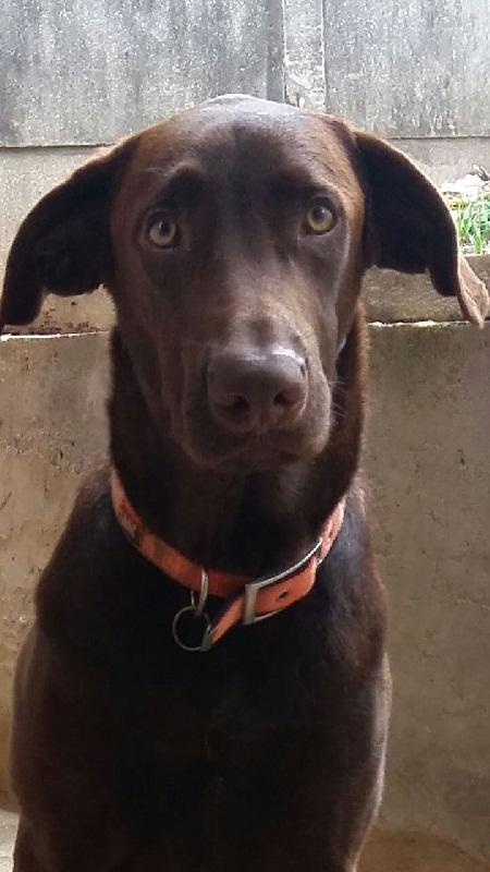 Doa-se cão Labrador adulto no Rio de Janeiro Cao