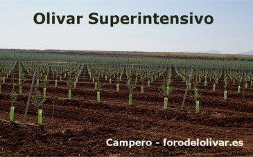 Plantación de Olivar Superintensivo, regadío, Arbequina