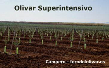 Super high density olive orchard, Super high density Olive Plantation, irrigation, Arbequina