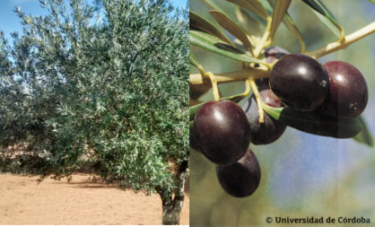 Variedad de olivo Villalonga (Valencia)