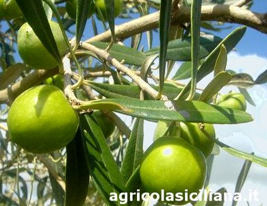 Olive tree with large olives Nocellara del Belice