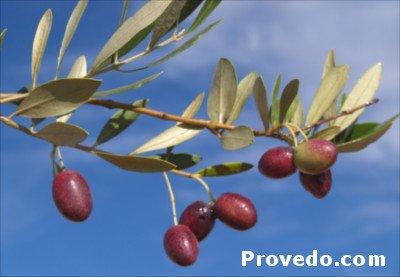 olive tree Picholine Marocaine, tree