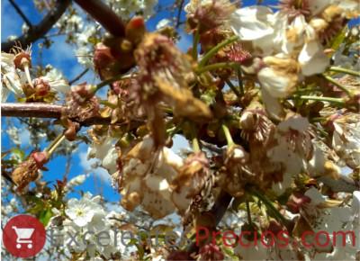 flores de cerezo con monilia
