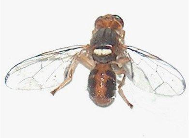 Olive fruit fly, fly olive tree (Bactrocera oleae Rossi, 1790)