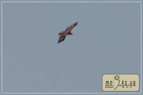 Підорлик малий (Aquila pomarina)