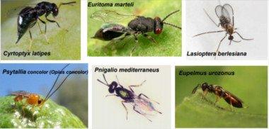 Fly predators olive, the predators of the