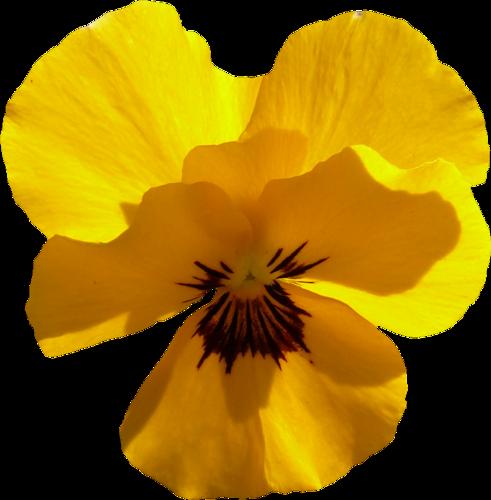 fleurs_paques_tiram_60