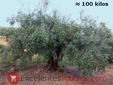 Olivo centenario Manzanilla Cacereña con 100 kilos de aceitunas