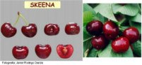 Types of cherry: Skeena