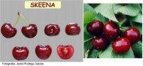 Tipos de cereza: Skeena
