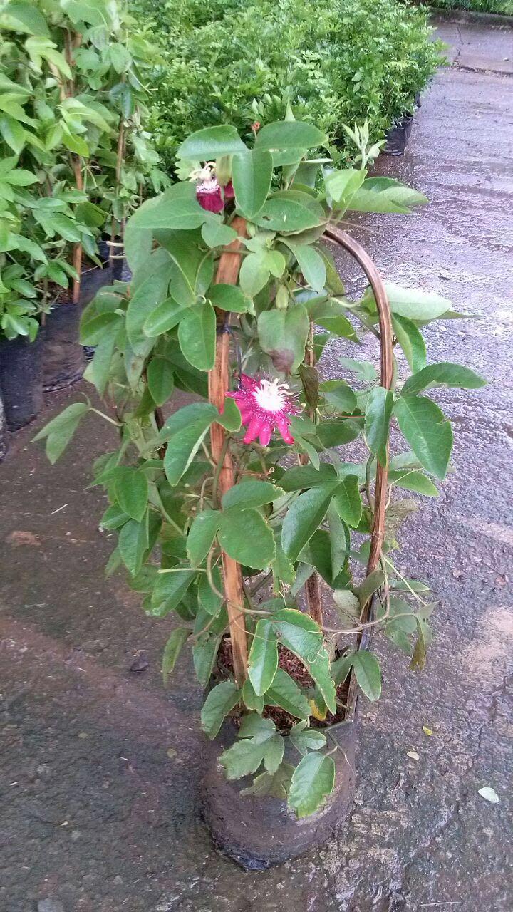 Tanaman Rambat Pasiflora