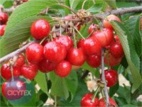 Cherry types: Early Lory