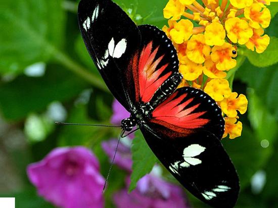 tubes_papillon_tiram_689