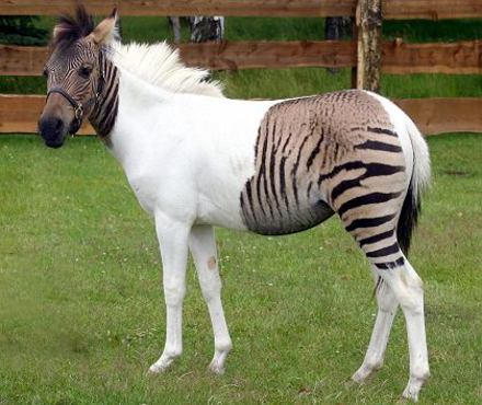 horse_zebra
