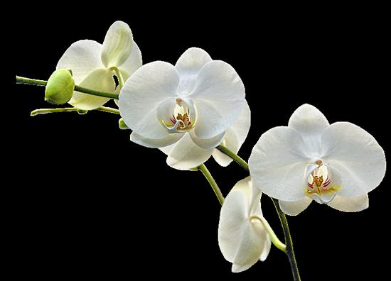 tubes_fleurs_tiram_262