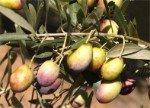 Olive tree Castellana or Verdeja