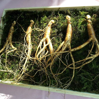 Ginseng korenina - raziskave o vplivu ginsenga na naše zdravje