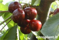 Types of cherry: Giant Red