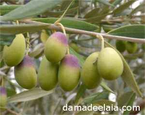 Farga olive variety: Elongated and envero