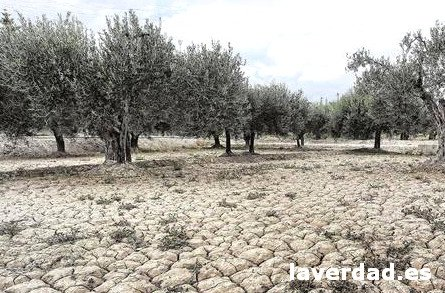 Climate olive trees. Clay soil and dry