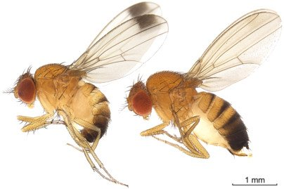 suzukii, male left fly, female fly to the right