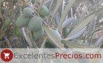 Picual es un tipo de olivo para producción de aceite
