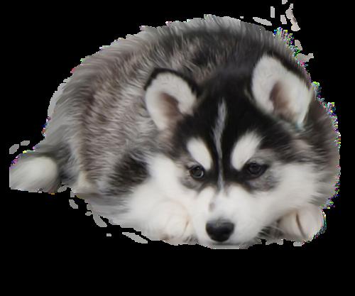 chien_tiram_244