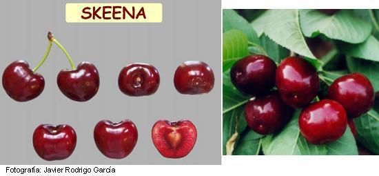 cerezo Skeena, variedad de cereza Skeena, cereza tardía