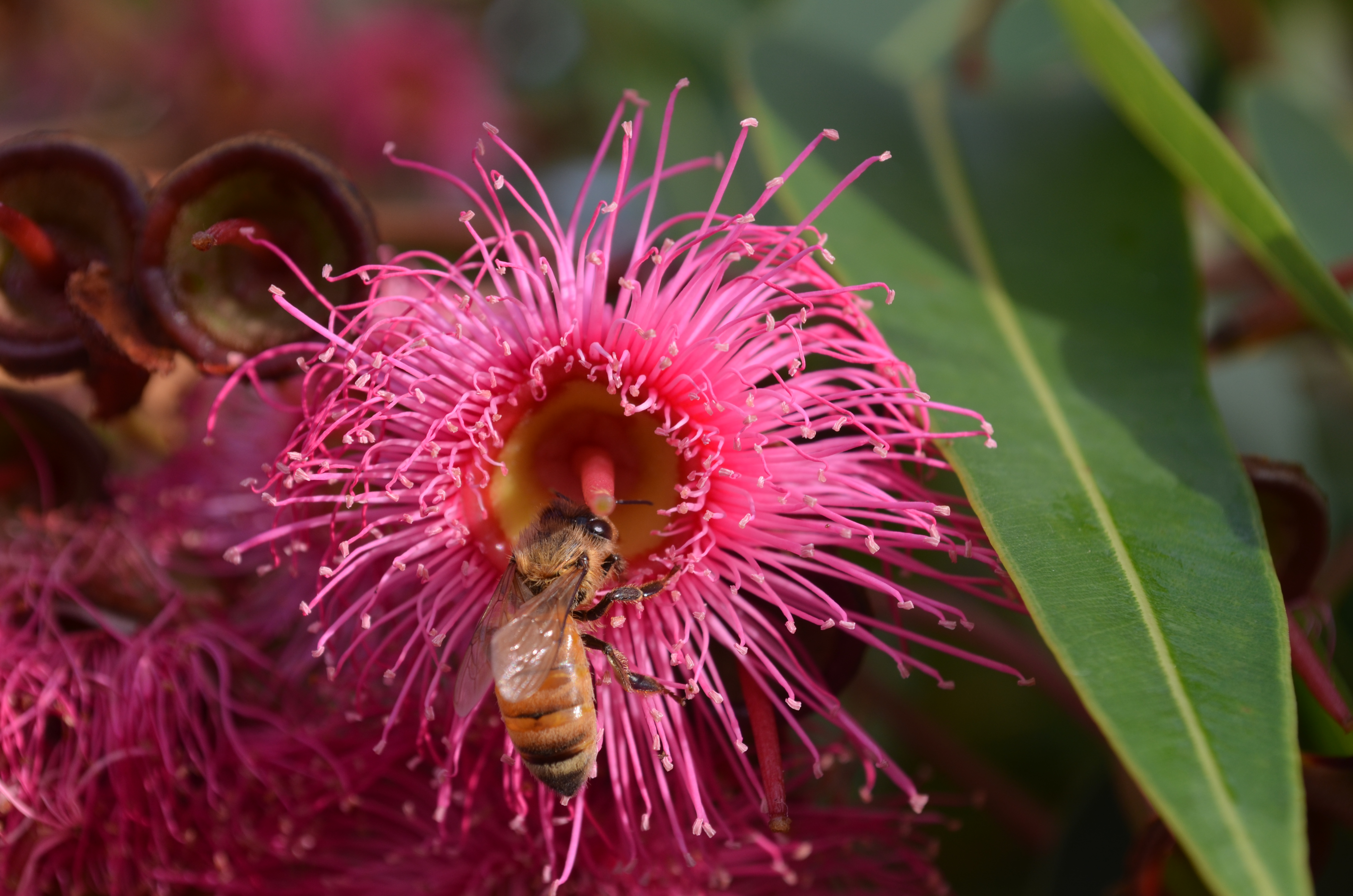 Flowering gum avian avenue parrot forum this pink flowering gum is in a park downtown in my city mightylinksfo