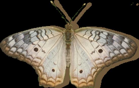 tubes_papillon_tiram_524