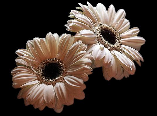 tubes_fleurs_tiram_270