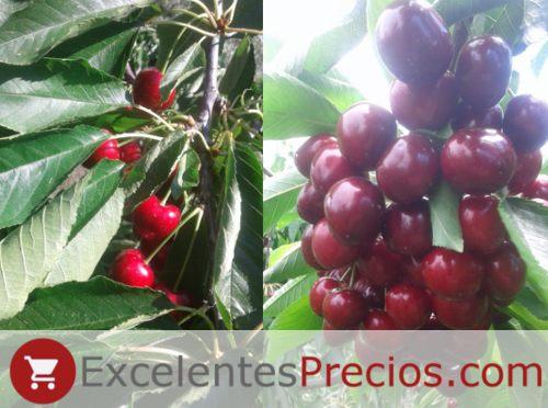 Fat cherry, Sunburst cherry tree, huge cherries with excellent flavor