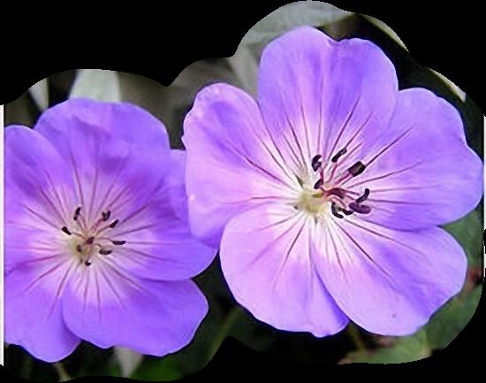 tubes_fleurs_tiram_654