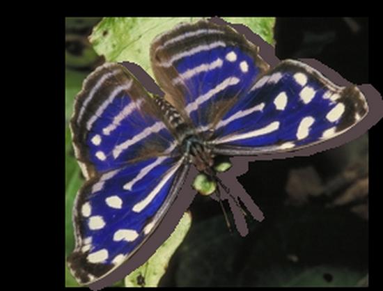 tubes_papillon_tiram_520