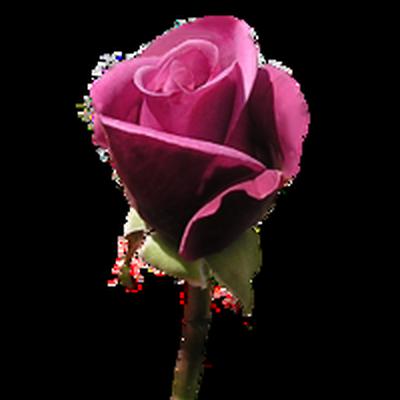 tubes_fleurs_saint_valentin_tiram_20