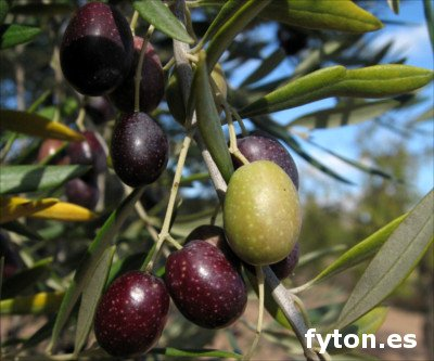 Lechin from Granada olive, Variety of olive tree Lechin